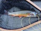 Brook Trout- South Lake, California
