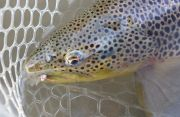 What a fantastic, terrestrial-eating Truckee River Brown!