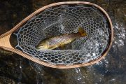 Brown Trout on the East Walker River, Ca.