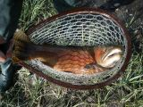An Unbelievable Cutthroat Comes Aboard on a Way-Too-Small Custom Wenge Net